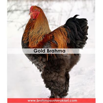 GOLD BRAHMA KULUÇKALIK YUMURTA